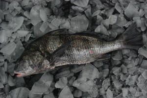 Black Drum from the Gulf